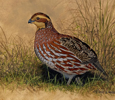 Bob White Quail Female