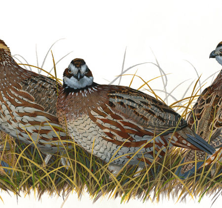 Southern Game Birds